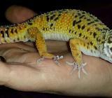 Leopardgecko 1.0  NZ - Damme
