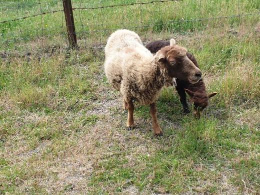 Ouessant/Quessant Aue mit Lamm
