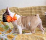 *Französische Bulldoggen Welpen Whatsapp +4915214389093* - Hille