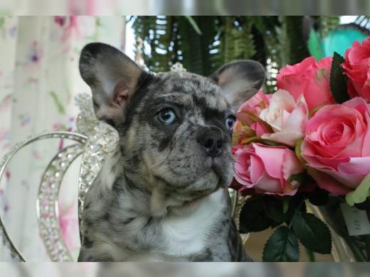 Französische Bulldoggen Welpen Whatsapp +4915214389093