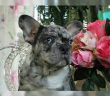 Französische Bulldoggen Welpen Whatsapp +4915214389093 - Dresden