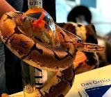 Python Regius  Spider 1.0 - Dülmen
