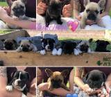 Französische Bulldogge Welpen Whatsapp +4915214389093.. in 40212