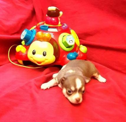 Wunderschöne Chihuahua Welpen zum Verkauf