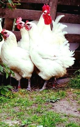 Bruteier von Bleu Bresse Gauloise Weiß Reinrassig ( hatching eggs ) - Sendenhorst