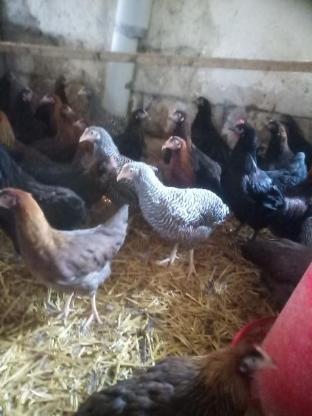 Wunderbare Hühnerrassen ab Hof abzugeben - Billerbeck
