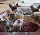 Französische Bulldogge Welpen Whatsapp +4915214389093.* in 68165