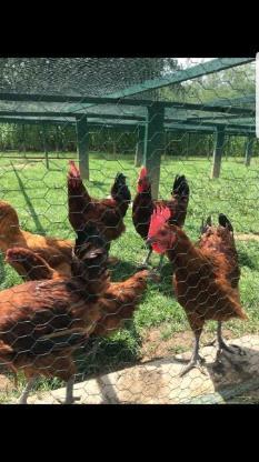 Bruteier von französischen Souconna ( harching eggs ) - Sendenhorst