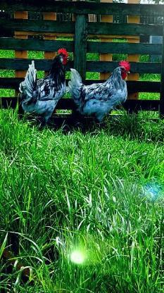 Bruteier von Bleu Bresse Gauloise in Splash Reinrassig ( hatching eggs ) - Sendenhorst