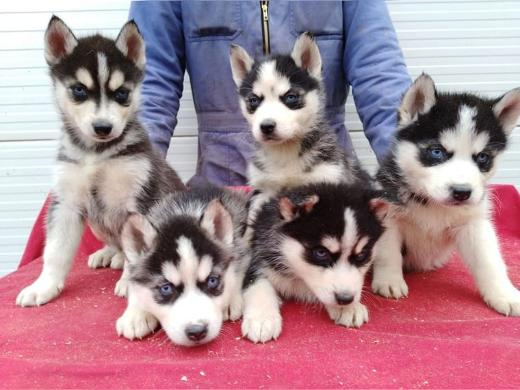 Sibirian Husky Welpen Whatsapp +4915214389093
