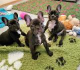 Französische Bulldogge Welpen Blau Creme Whatsapp +4915214389093 in 70174