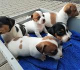 Jack Russell Terrier Welpen  Whatsapp +4915214389093 - Münster