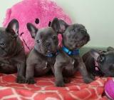 Französische Bulldogge Welpen Whatsapp +4915214389093 in 38104