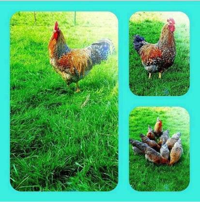 Bruteier Reinrassigen Bielefelder Kennhuhn Groß Reinrassig (hatching eggs)