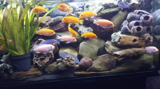 Aquarium mit Zubehör und Afrikanische Buntbarsche zu verkaufen