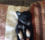 12 Wochen altes Chihuahua Pinscher Mix Weibchen - Ahlen