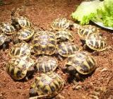 griech. Landschildkrötenbabys aus 2019 - Havixbeck