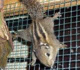 Baum-Streifenhörnchen - Gronau (Westfalen)