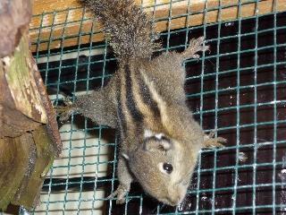 Eichhörnche-Baumstreifenhörnchen - Gronau (Westfalen)
