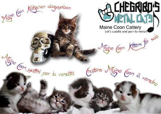 *Maine Coon Kitten*