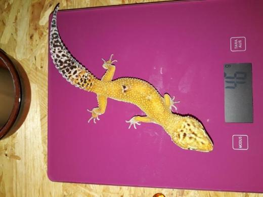 Leopardgecko Weibchen  NZ ' 16 - Damme