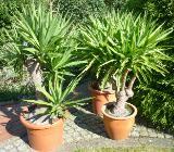 Yucca-Palmen für drinnen und draußen - Bremen