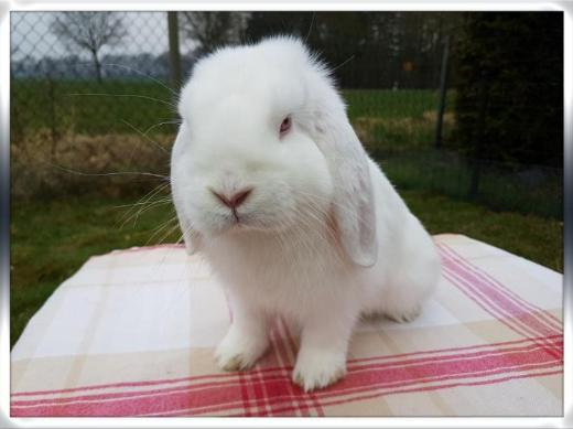 2 Mini Lop Kastraten - Ehrenburg