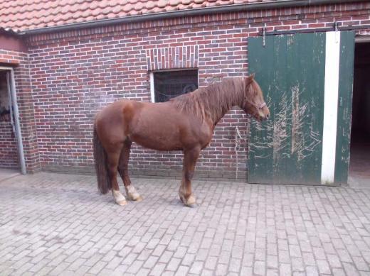 Ponys zur Verfügung - Emstek