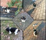 Süßer Biewer-Yorkshire Terrier, Rüde, 11 Wochen - Friesoythe