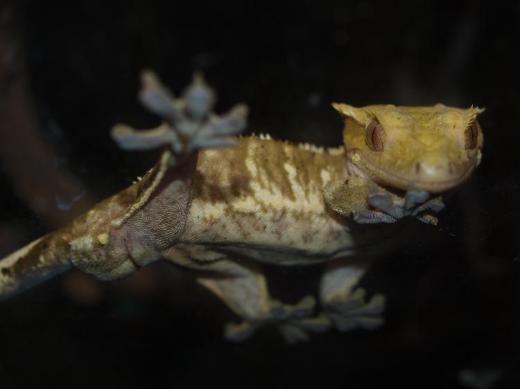 Kronengeckos Correlophus ciliatus abzugeben 5.2.2 - Hude (Oldenburg)