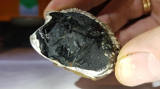 Sehr selten, Vivianit Kristalle in einer fossilen Muschel. - Bremen