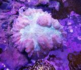 WOW-Korallen LPS eingetroffen bei Seepferdchen24.de - Ottersberg