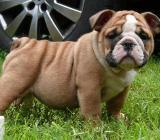 Englische Bulldoggen Welpen zu verkaufen! - Bremerhaven