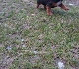 Hundewelpen - Osterholz-Scharmbeck