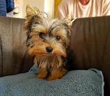 Mini Mini Yorkshire Terrier Welpe abzugeben York Yorki Yorky - Löningen