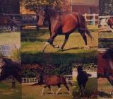 Huzulenwallach  Huzule Pony Pferd - Emstek