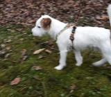 Reinrassiger Parson Russel Terrier mit VDH-Ahnentafel - Wilhelmshaven