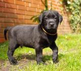 Labrador Welpen in schwarz mit Ahnentafel - Lemförde