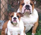 Englische Bulldoggen Wurfankündigung - Zeven