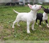 VDH / GBF STANDARD Miniatur Bull Terrier Welpen - Bremen Hemelingen