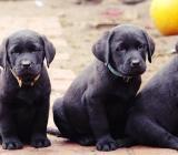 Schwarze /gelbe Labrador Welpen abzugeben. 11 Wochen alt - Apen