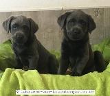 Labradorwelpen in silber & charcoal - mit Papieren - Rehden