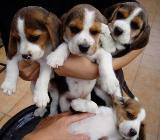 Schöne tri farbige Beagle Welpe - Bremen Vahr