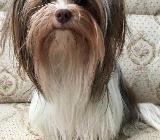 Yorkshire Terrier Biewer Biro Hündin - Barnstorf