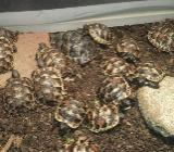 Landschildkröten von 2017 Testudo graeca - Achim