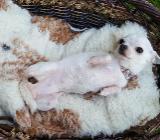 Süsse Chihuahua mini Hündin weiss / blue mit allen Zubehör Top! - Loxstedt