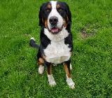 Gr. Schweizer Sennenhund Umständehalber abzugeben - Bassum