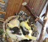 wegen Hobby auflösung Kanarienvögel 12 stück insgesamt - Bremen