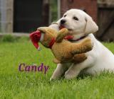 Labradorwelpe in gelb, 8 Wochen sucht ab sofort ihre Familie... - Wiefelstede