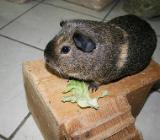 Meerschweinchen, Glatthaar, Lemonagouti Creme California schwarz - Stuhr
